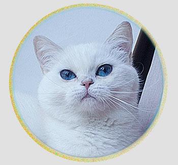 кошка британские шиншиллы серебристого окраса из Москвы An Marion Teana