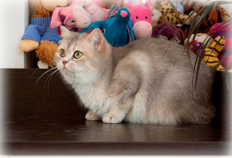 Британская кошка голубое золото купить в питомнике кошек Москвы