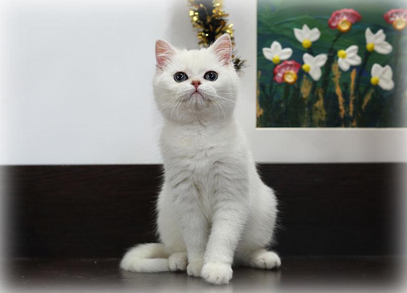 Британский котенок  шиншилла, рожденный от кошки разведения нашего питомника в Москве.