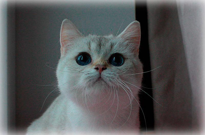 Risha An Marion золотая шиншилла пойнт кошка с синими глазами в питомнике кошек в Москве