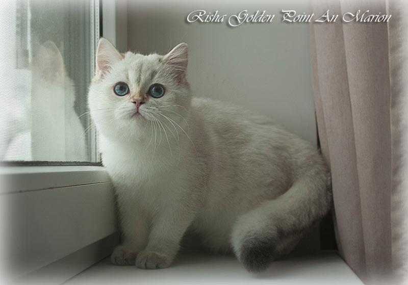 Risha An Marion золотая синеглазая шиншилла пойнт в питомнике кошек в Москве