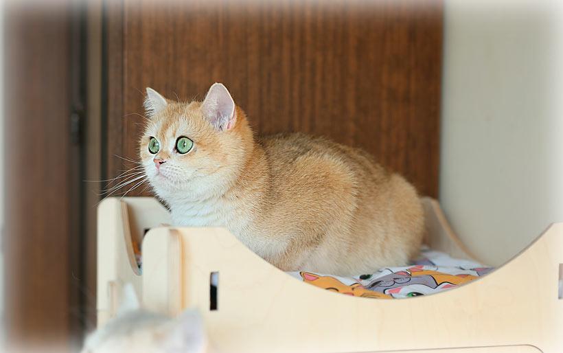 золотая  шиншилла  в питомнике кошек в Москве