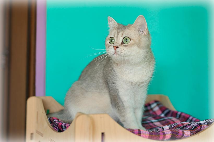 Британский котенок голубое золото купить в питомнике кошек Москвы