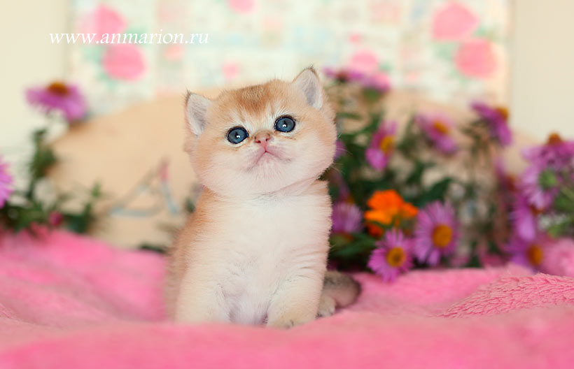 Британский котенок в питомнике кошек Москвы