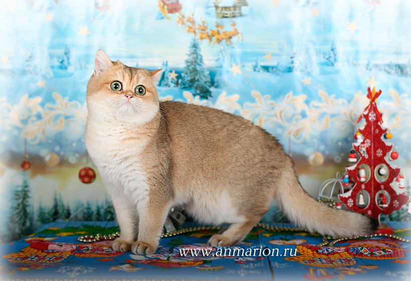 Британская кошка  заботливая и строгая мамочка, которая очень ответственно подходит к воспитанию своих котят.