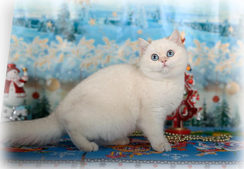 Британский котенок голубая золотая шиншилла  купить в питомнике