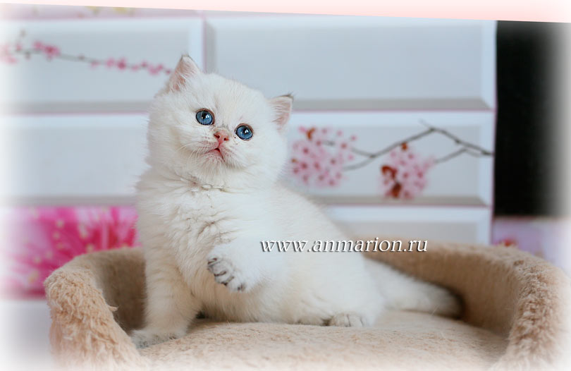 Британский котенок золотая шиншилла пойнт в питомнике кошек Москвы
