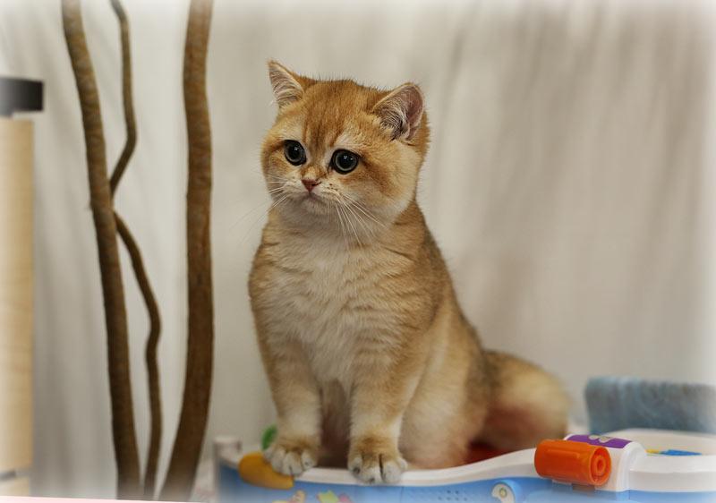 Британский кот золотая шиншилла