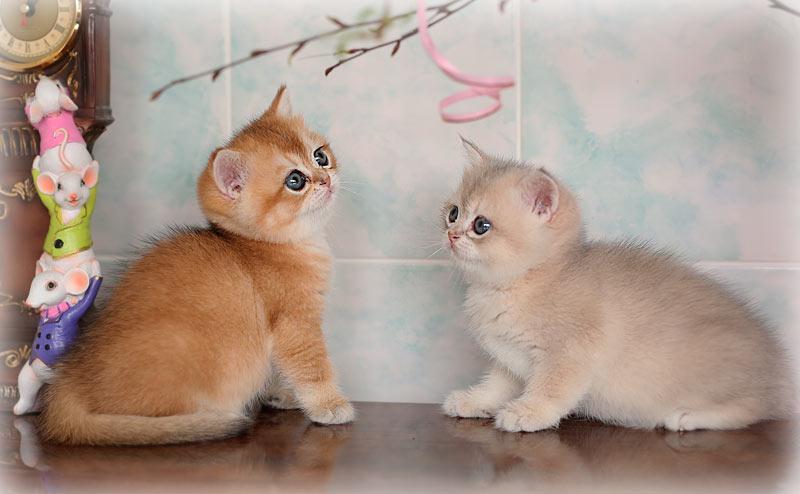 Голубая золотая шиншилла  в питомнике кошек в Москве