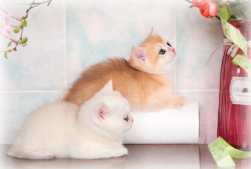 купить котенка британской шиншиллы