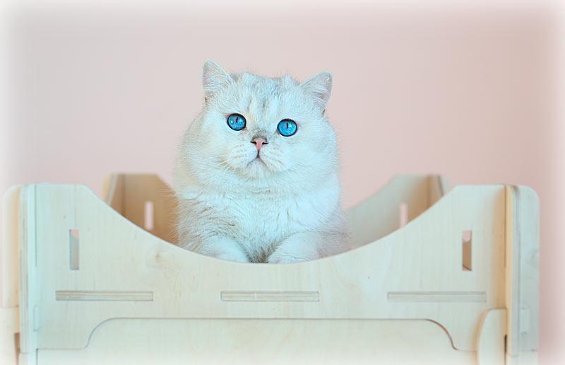 обладатель огромных синих глаз и окраса шиншилла пойнт