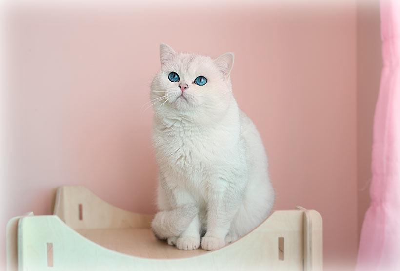 обладатель синих глаз и хорошего окраса шиншилла пойнт
