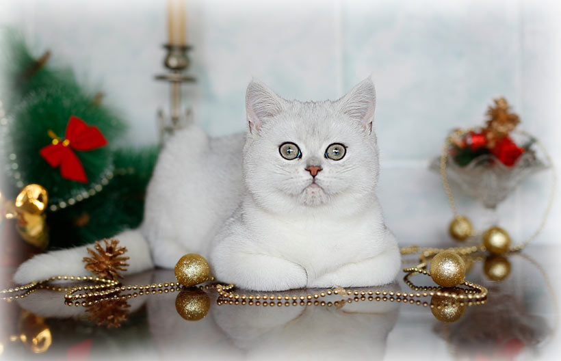 шиншилла  в питомнике кошек в Москве