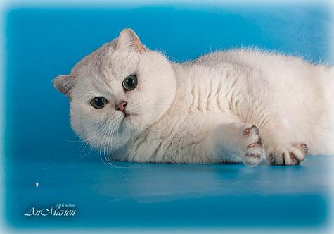 Этот британский кот британской шиншиллы фенотипично очень гармоничен