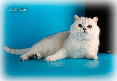 Океан крупный для шиншилл британский кот, имеет хороший костяк
