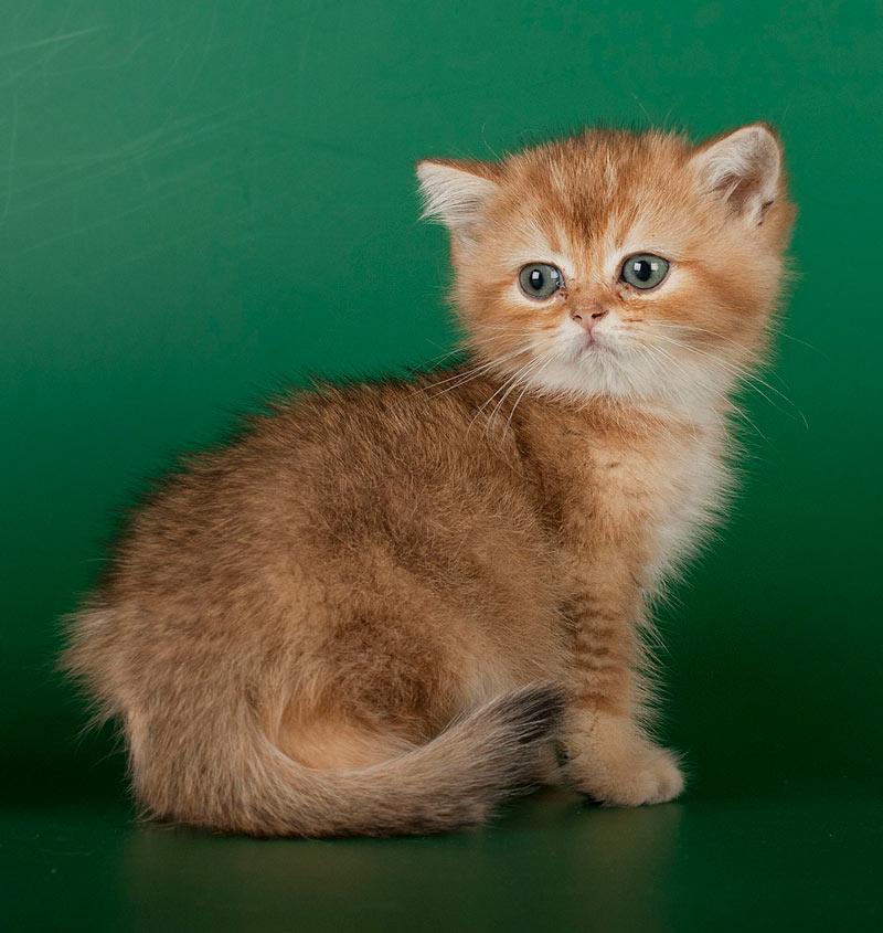 купить котенка золотой британской шиншиллы