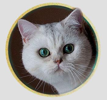 Бонифаций кот британской шиншиллы из Москвы