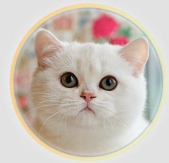 кошка британские шиншиллы серебристого окраса из Москвы An Marion Miluoky