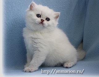 Влияние цели покупки котенка британской шиншиллы на его цену.
