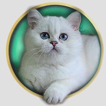 кошка британские шиншиллы серебристого окраса из Москвы An Marion Discovery