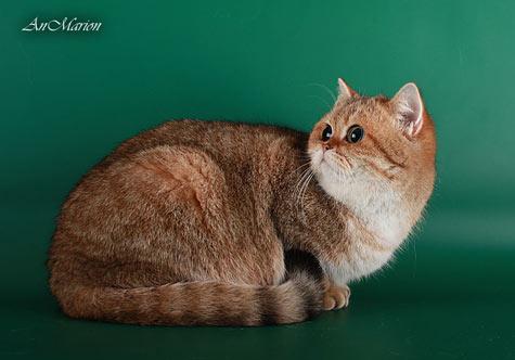 Реджина крупная британская кошка шиншилла, с компактным нерастянутым корпусом и ярким насыщенным золотом в окрасе
