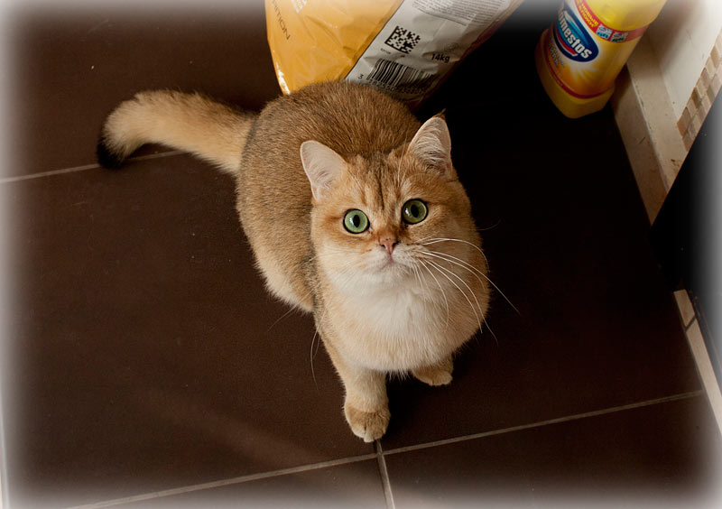 Edward from Anghevik House Британский кот золотая шиншилла