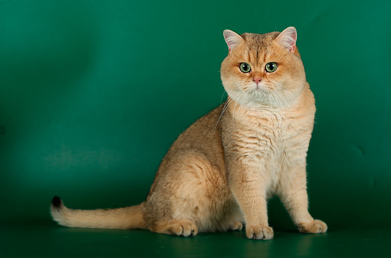 Возраст 1,5 года. Edward from Anghevik House Британский кот золотая шиншилла