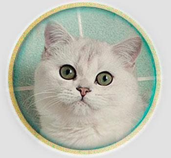 кошка британские шиншиллы серебристого окраса из Москвы An Marion Eva