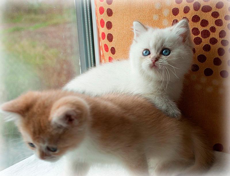 Британский котенок золотой шиншиллы