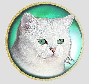 кошка британские шиншиллы серебристого окраса из Москвы An Marion Baunty Blue Sky