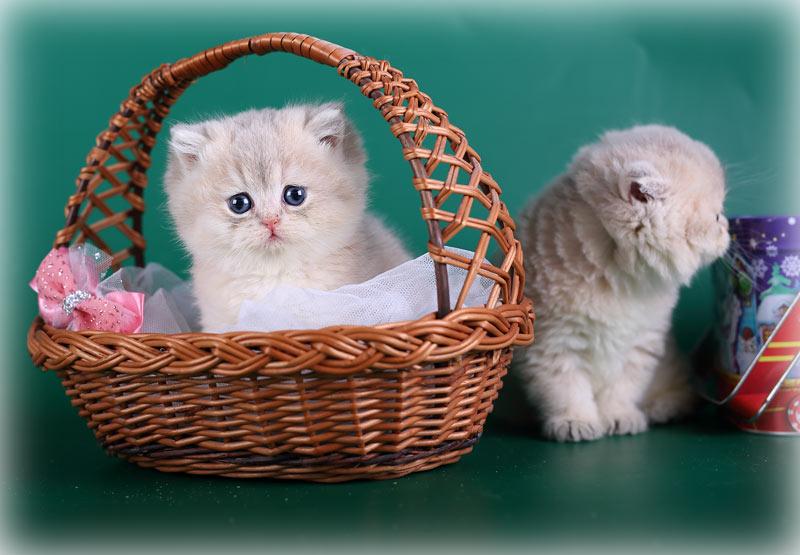 Британский котенок шиншилла голубое золото купить в питомнике