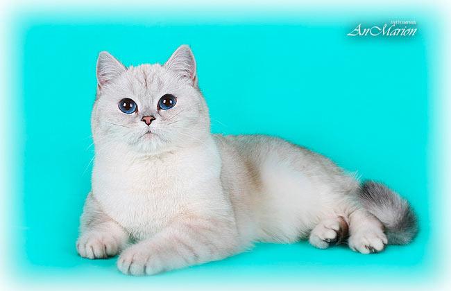 Британская кошка шиншилла пойнт