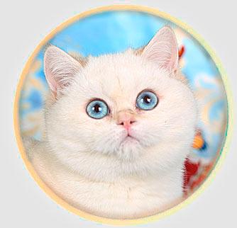кошка британские шиншиллы  из Москвы An Marion
