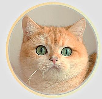 кошка британские шиншиллы серебристого окраса из Москвы