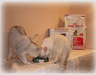 Цена или стоимость питания и содержания котят британских шиншилл и племенных животных в питомнике