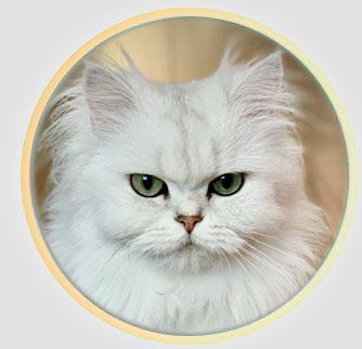 Кошка британской шиншиллы из Москвы