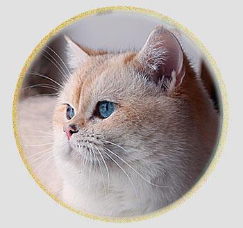 британский кот голден пойнт из Москвы