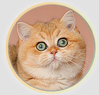 кошка британские шиншиллы золотого окраса из Москвы Latisha An Marion*RU