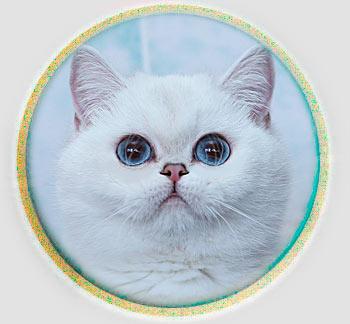 кошка британские шиншиллы серебристого окраса из Москвы  Sillver point An Marion