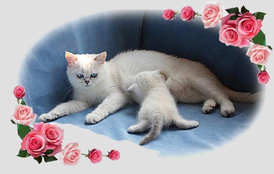 Цена котенка британской шиншиллы, по которой вы можете его купить