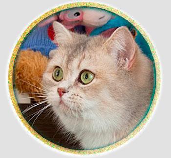 кошка британские шиншиллы голубое золото из Москвы J*Milena An Marion