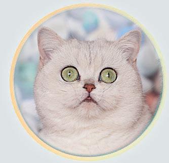 кошка британские шиншиллы серебристого окраса из Москвы An Marion Liza