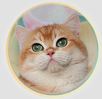 кот британской шиншиллы из Москвы