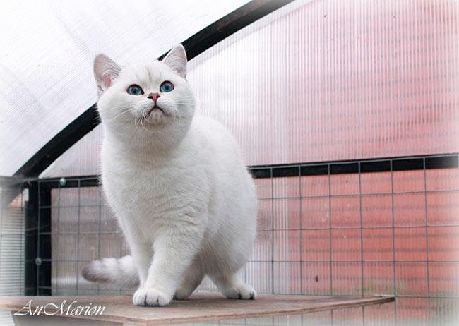 британская кошечка, с короткий вздернутый идивидуальный улыбчивый беби-фейс