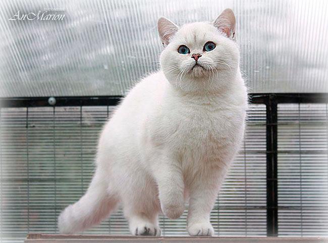 британская кошечка, которая имеет смешной идивидуальный улыбчивый беби-фейс