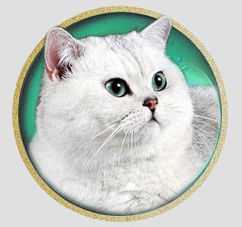 Океан кот британской шиншиллы из Москвы