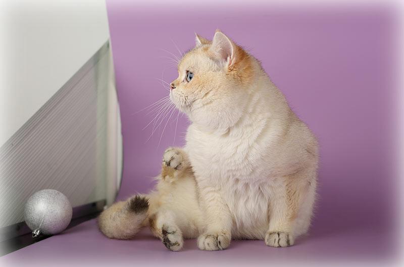 обладатель огромных синих глаз и окраса шиншилла пойнт, как известный многим почитателям Интернета кот Кобби