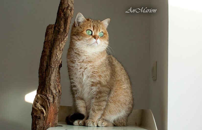 британская золотая кошка шиншилла