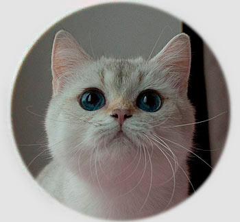 кошка золотая британская шиншилла пойнт Risha Golden point An Marion