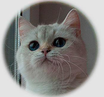 кошка золотая британская шиншилла пойнт с синими глазами - Risha Golden point An Marion